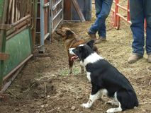 Working Dogs and Cowboys. A couple of working dogs, an Australian Cattle dog or Blue Heeler and Border Collie. Two cowboys are letting them do their job stock photography
