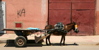 Working donkey. Donkey used to carry a wagon in Marrakech Morocco Stock Photography