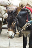 Working donkey. A closeup view of a black donkey carrying goods to market Stock Photos