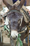 Working donkey. A closeup view of a working donkey carrying items royalty free stock photography