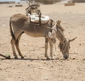Working donkey in the African desert Royalty Free Stock Image