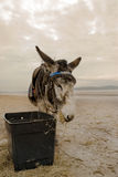Working Donkey having a rest. Stock Photography