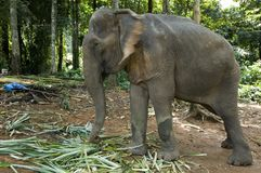Working Elephant. A working elephant clearing leaves in Thailand (motion blur on ears Royalty Free Stock Images