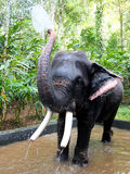 Working Elephant having a bath, Kerala, India Royalty Free Stock Photography