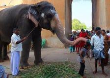 Working Elephant at temple, Kerala, India stock image