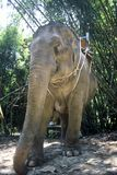 Working Elephant, Thailand, Royalty Free Stock Photography