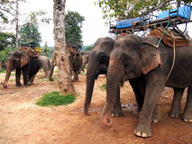 Working Elephants. Elephants are waiting for tourists stock image