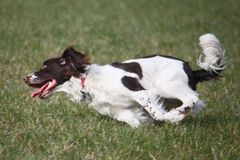 A working english springer spaniel gundog running Stock Photo