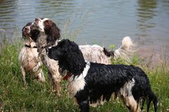 Working English Springer Spaniels Royalty Free Stock Photos