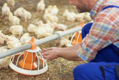 Working farmer. Farmer feeding chickens in the chicken coop royalty free stock image