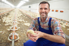 Working farmer. Small chicken and the farmer Stock Image