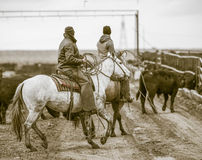 Working the Feedlot. American Cowboys. Stock Photo