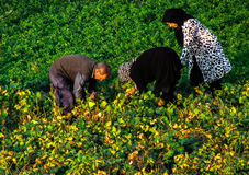 Working the fields. Gathering the crops in rural Iran amongst the family Royalty Free Stock Photo