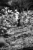 Working in a Fig Plantation Stock Images