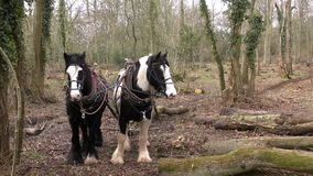 Working Forestry Horses stock video