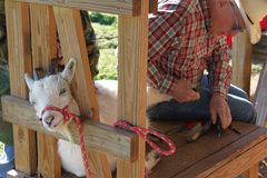 Working On the Goats Hoof. Large animal vet trimming the hoof of a goat royalty free stock photo