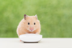 Working Golden Hamster Stock Image