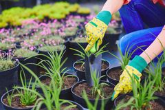 Working with green seedlings Royalty Free Stock Photos