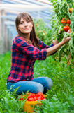 Working in greenhouse Stock Images