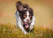 Working gun dog. Running with ears in the air. Search and rescue police training