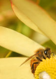 Working hard. A bee doing its job tirelessly stock image