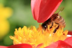 Working hard. A honey bee is collecting honey and Stock Images