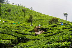 Working Hard. Respect for those who work hard on the tea plantations. very humid weather and raining in the low season Royalty Free Stock Images