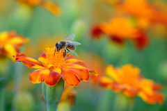 Working Honey Bee. Honey bee gathers nectar from orange flower Royalty Free Stock Photography