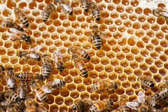Working honey bees. Stock Photography
