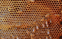 Working honeybee Stock Photo