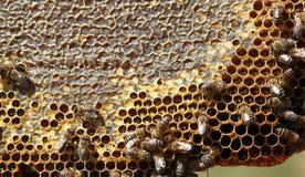 Working honeybee. Put honey in the beehive Stock Images