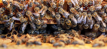 Working honeybee. Put honey in the beehive Royalty Free Stock Photos