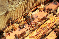 Working honeybee. Put honey in the beehive Royalty Free Stock Photography