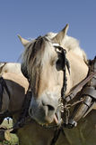 Working horse. With harness and blinkers Royalty Free Stock Photos