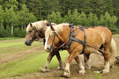 Working horse Stock Photo