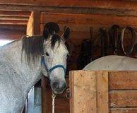 Working Horse In Barn Royalty Free Stock Photo