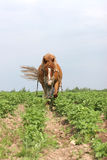 Working horse in Belarus. Horse plowing clayey rows in potato field, june, Belarus Stock Photography