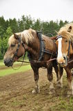 Working horse Royalty Free Stock Photos