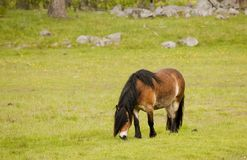 Working horse. Grazing in field Royalty Free Stock Image