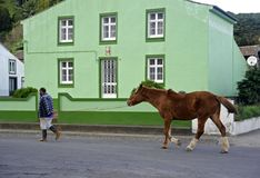 Working horse. Sete Cidades, Azores - November 30, 2013: Heading home after a long work day royalty free stock photography