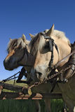 Working horses. With harness and blinkers Stock Photos
