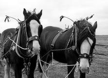 Working Horses Stock Image