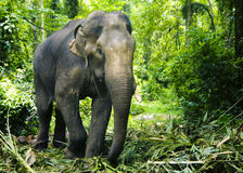 Working Indian Elephant Forest Green Concept Stock Photos