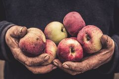Working man hands holding apples