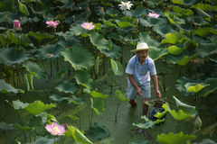 Working Man in Lotus Field Royalty Free Stock Photography