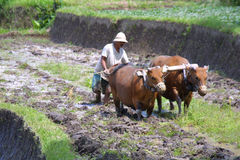 Working Men. On an field - indonesia, island bali Royalty Free Stock Photos