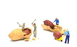 Working for peanuts Royalty Free Stock Photography