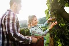 People harvesting grapes at winegrower vineyard. Working people harvesting grapes at winegrower vineyard Stock Photos
