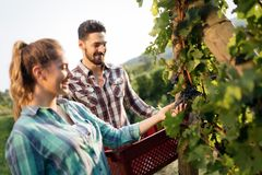 People harvesting grapes at winegrower vineyard. Working people harvesting grapes at winegrower vineyard Royalty Free Stock Images