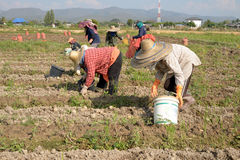 Working on a potato field with thai farmer. Working on a potato field with Thai farmers Royalty Free Stock Images